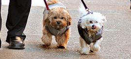 Alec Baldwin Walks Pups in NYC