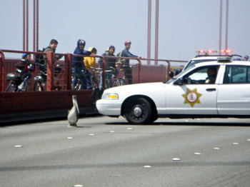 """Gigi"" lands on the Golden Gate Bridge in ""Pelican Dreams"""