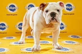 Puppy Bowl 2016 Otis